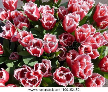 Red and white flowering tulips in spring with fringe