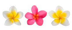 Red and white Frangipani flowers  isolated on white