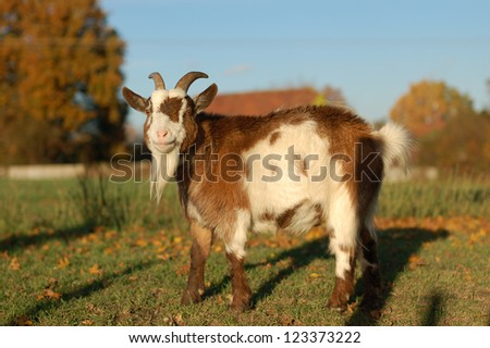 Red and white goat standing in warm sunlight in a field