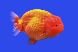 Red and white Lionhead goldfish on isolated blue background. Carassius auratus is freshwater fish, one of the most popular ornamental fish.