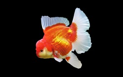 Red and white Oranda goldfish is  on isolated white background. Carassius auratus is freshwater fish, one of the most popular ornamental fish.