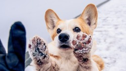 Red and white pembroke welsh corgi doing high-five