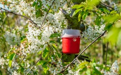 Red and white pheromone trap to lure insects. Here on a cherry tree in bloom.