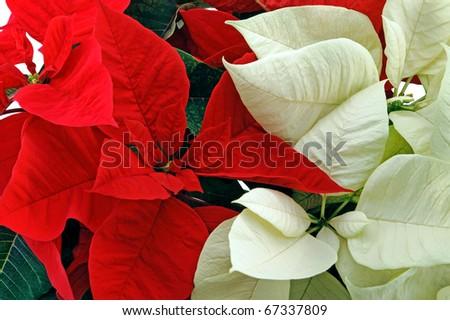 Red and white poinsettia horizontal shot - stock photo