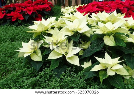 red and white poinsettias