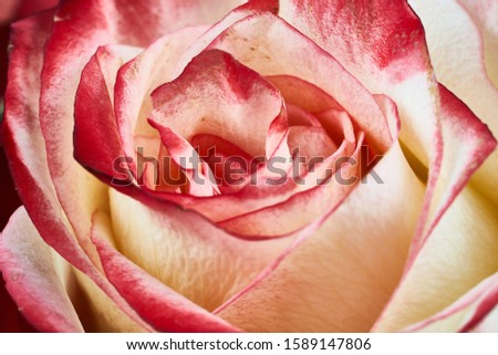 red and white rose macro close up shot. Foto d'archivio ©
