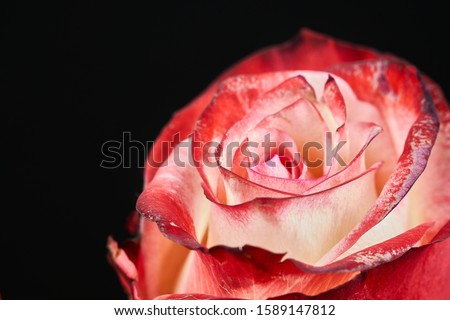Photo of  red and white rose on black background macro