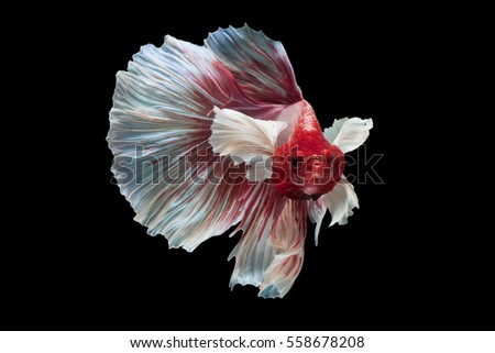 Red and white Siamese fighting fish Big Ear Dumbo Halfmoon Fancy Betta. Beautiful exotic animal. exotic animal. Thailand Fancy fish. Color blood Chinese lucky charm. #558678208
