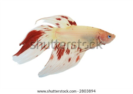 Red and white Siamese Fighting fish or Betta Splendens isolated with clipping path
