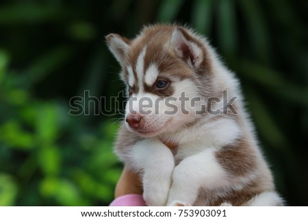 Red And White Siberian Husky Puppy Portrait Ez Canvas