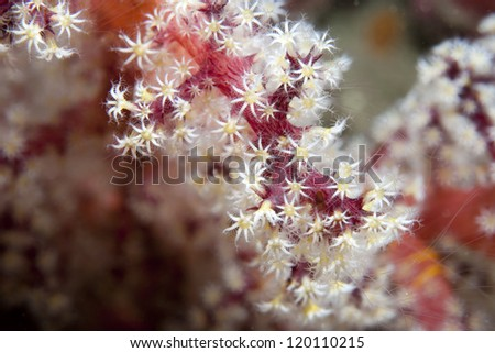 Red and white soft coral