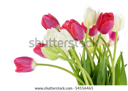 Red and white spring tulips isolated on white background