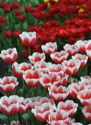 Red and white Triumph tulips (Tulipa) Dutch Design bloom in a garden in April