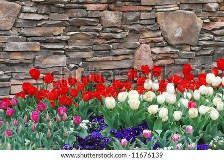 Red and White Tulips near rock wall.