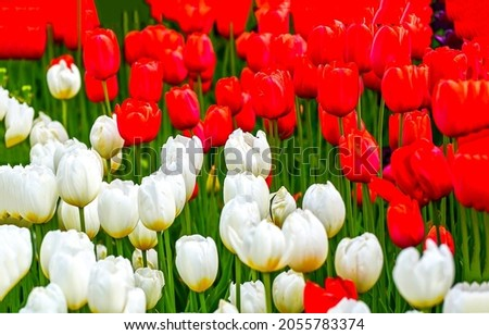 Red and white tulips view. Tulip flowers. Colorful tulips