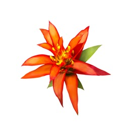 Red and yellow Aechmes Fasciata Bromeliad isolated on white with clipping path