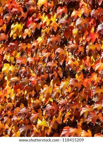 Red and yellow Autumn ivy leaves