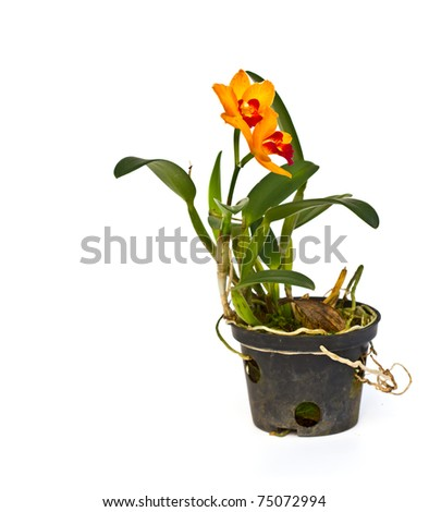 Red and yellow Beautiful Orchid in a pot on a white background