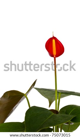 Red and yellow Beautiful Orchid on a white background - stock photo