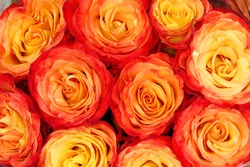 red and yellow beautiful roses