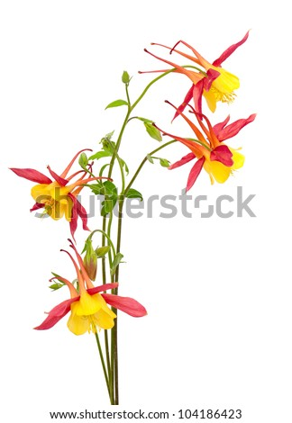 Red and yellow Columbines Isolated on White Background