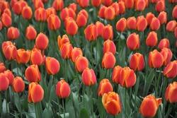 Red and yellow Darwin Hybrid tulip (Tulipa) Apeldoorn's Elite flowers in a garden in April 2018