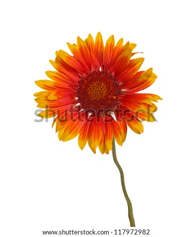 Red and yellow flower of the perennial Indian blanketflower, also known as sundance or firewheel, a hybrid with the scientific name Gaillardia grandiflora, isolated against a white background