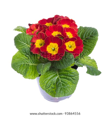 Red and yellow flowering potted primrose isolated on white