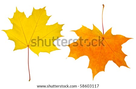 red and yellow maple leaves isolated on a white