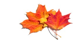 red and yellow maple leaves on a white background. When the leaves change color from green to yellow, bright orange or red, you will learn that the trees begin their long winter rest.