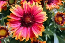 Red and yellow marguerite