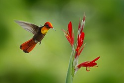 Red and yellow Ruby-Topaz Hummingbird, Chrysolampis mosquitus, flying next to beautiful red flower on Tobago Island.