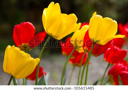 Red and yellow tulip blossoms on a defocused background - stock photo