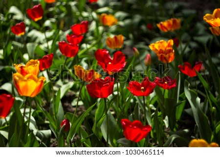 Red And Yellow Tulips Bloom In The Garden Background Bright Spring