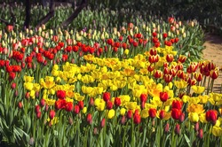 Red and yellow tulips under the bright spring sun. Aptekarsky Ogorod (a branch of the Botanical Garden of Moscow State University), Moscow, Russia