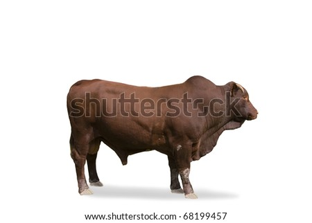Red angus bull standing with view from the side isolated on white background