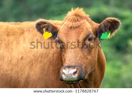 Red angus Cattle in pasture in Brazil #1178828767