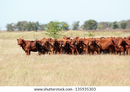 Red angus cattle on pasture #135935303