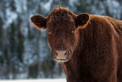 Red Angus Cow in a Winter Background Forest