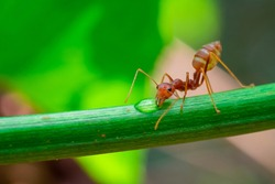 red ant, action ant drinking water drop on the branch big tree, in garden among green leaves blur background, selective eye focus and black backgound, macro