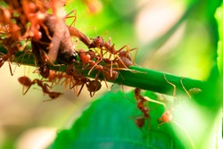 red ant, action helping for food on the branch big tree, in garden among green leaves blur background, selective eye focus and black backgound, macro
