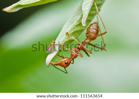 red ant and aphid on green leaf - stock photo