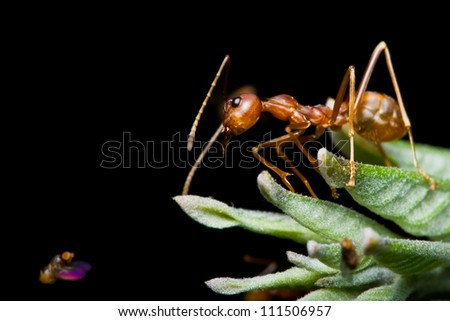 red ant and fruit fly