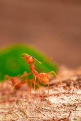 red ant, ant action fighting ,ant fighting on branch of tree in garden among green leaves blur background, selective eye focus, macro