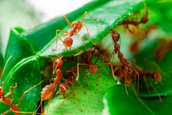 red ant, ant action team work for build a nest,ant on green leaf in garden among green leaves blur background, selective eye focus and black backgound, macro