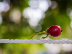 Red ant carry red fruit on white rope to nest on green background.strong ant hardworking