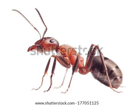 Photo of  red ant formica rufa  on white background