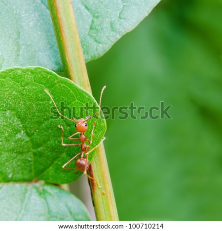 Red ant on a leaf.