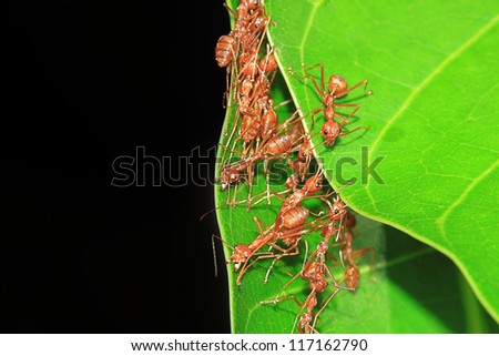 Red Ant on green leaf