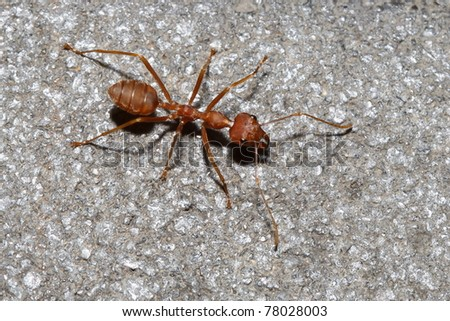 red ant on rock